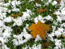 First snow. Maple leaf on green grass which is covered with the first snow Stock Photography