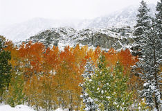 First Snow in Mountains. Aspens covered in first snow of the season royalty free stock photography
