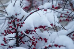 The first snow. In Odessa. Red berries under the snow Royalty Free Stock Photography