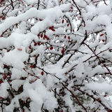 First snow. Over red berries Stock Image