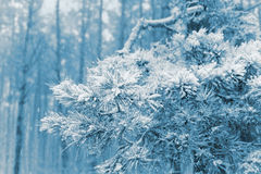 First snow in pine forest Royalty Free Stock Photo