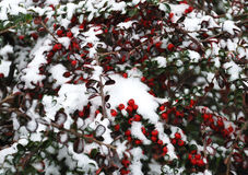 First snow and red berry Stock Image
