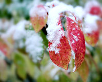 First snow on red leaves. Crispy first fresh snow on red leaves in Chicago stock images
