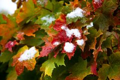 The first snow on the red maple leaves. Beautiful branch with orange and yellow leaves in late fall or early winter under the snow