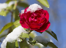 First snow on the rose flower. Stock Image