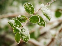First snow of the season on still green leaves. First snow of the season early winter on still green leaves Stock Photography