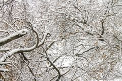 First snow. Snow flakes in the air. White branches on the trees. Winter. First snow. Snow flakes in the air. White branches on the trees. Winter Royalty Free Stock Image