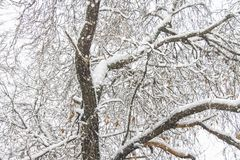 First snow. Snow flakes in the air. White branches on the trees. Winter Royalty Free Stock Photo