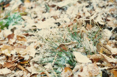 First snow after snowfall on autumn falling leaves. And grass background Royalty Free Stock Image