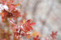 First snow after snowfall on wild bright rose leaves Stock Images