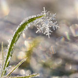 First Snow. Flakes in the winter, stuck in the hoarfrost covered grassblades, melting in the morning-sun Royalty Free Stock Photos