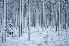 First snow is snowing at winter evening Royalty Free Stock Images