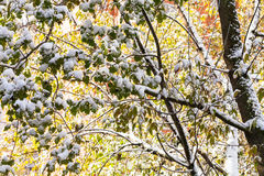 First snow on tree branches in autumn Stock Photo