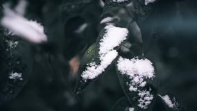 First snow on the tree. Frosted leaves. Close up shot. First snow on the tree. Frosted leaves. Close up video stock footage