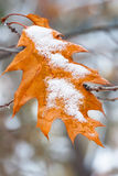 First snow on trees and yellow leaf of oak. Change  season from fall to winter. Stock Photos