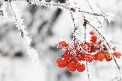 Winter Frozen Viburnum Under Snow. First snow stock image