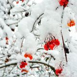 First snow of winter. Red berries in first snow of winter Stock Photos