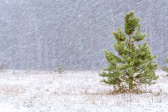 First snow in woods at daylight with green pines, stock photos