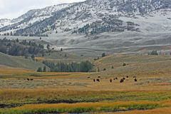 First snow in Yellowstone and grazing bisons Stock Photo