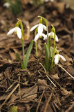 First snowdrop Royalty Free Stock Photo