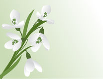 The first snowdrops. Stock Photo