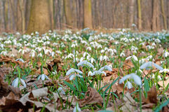 First Snowdrops Stock Photography