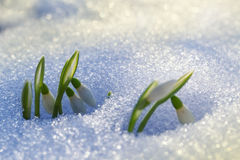First Snowdrops Royalty Free Stock Photography