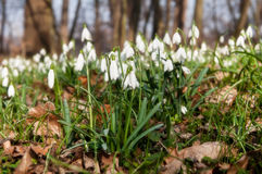 Free First Snowdrops Stock Photography - 32528552