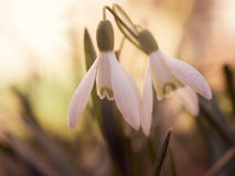 The first snowdrops Stock Photos
