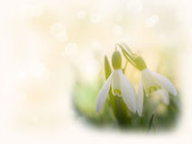 The first snowdrops Royalty Free Stock Image
