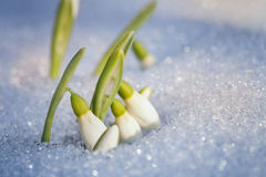 First snowdrops Stock Images