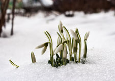 First snowdrops in february outdoor Royalty Free Stock Photos