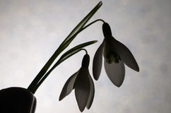 The first snowdrops Galanthus Royalty Free Stock Photography