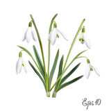 The first snowdrops Galanthus Royalty Free Stock Images