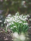 First snowdrops on garden bed, outdoor. Springtime flowers . Spring nature background. Retro toned Stock Photos