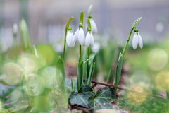 First snowdrops Stock Photos