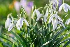 The first snowdrops. Shallow depth of field Stock Photos