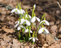 First snowdrops Royalty Free Stock Photo