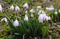 Snowdrops in forest Stock Image