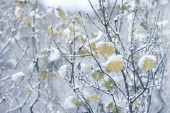 The first snowfall,  the tree branches with leaves covered snow Royalty Free Stock Photography