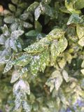 First snowflakes on green leaves Stock Photo