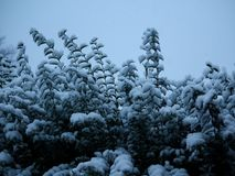 Winter Snows on the bushes in a garden. The first snows of winter on a bush in a garden Stock Image