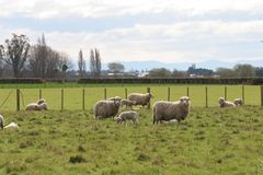 First of spring. Groups of Ewes and Lambs enjoying a fine spring afternoon. Canterbury, New Zealand stock images