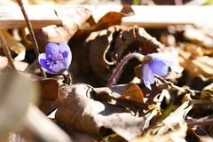 The first spring beautiful wildflowers sprout through the soil in the forest royalty free stock photo