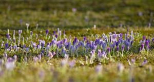 Crocuses in grass Royalty Free Stock Photography