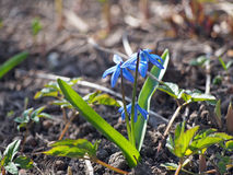 First spring blue flower in forest Stock Photography