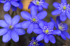 First spring blue flowers Royalty Free Stock Images