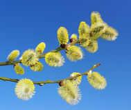 First spring buds - catkins royalty free stock photos