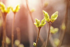 First spring buds on lilac bush Stock Images
