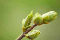First spring buds Royalty Free Stock Image